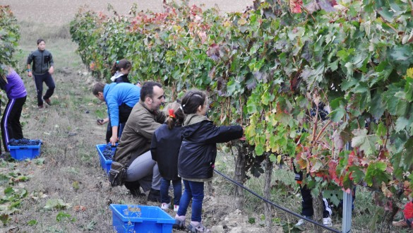 Family Friendly Wine Harvesting